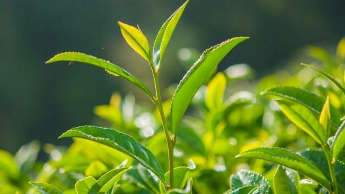 thé vert aliments anti cholestérol